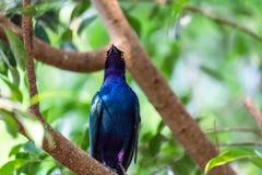 坐在一棵绿色树的紫色光滑的椋鸟 免版税图库摄影
