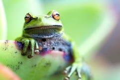坐在一片多汁植物叶子的池蛙 图库摄影