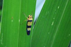 -坐在一片绿色叶子背面的一个蓝色和黄色臭虫- Graphocephala versuta在密林 免版税库存图片