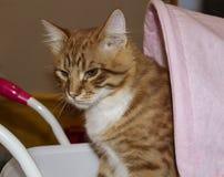 坐在一辆桃红色儿童的塑料玩具婴儿推车的猫在白色墙壁附近 库存照片