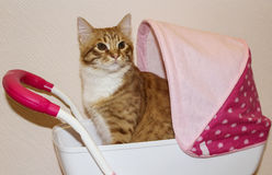 坐在一辆桃红色儿童的塑料玩具婴儿推车的猫在白色墙壁附近 库存图片