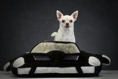 坐在一辆玩具汽车的奇瓦瓦狗在演播室 免版税库存照片