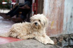 坐在下午放松的入口门道入口之外的白发狗 免版税库存照片