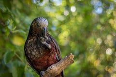 坐在与背景Bokeh迷离的树的新西兰Kaka布朗鹦鹉 免版税库存图片