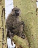 坐在与部分地开放的嘴的一棵Acai树的一个成人狒狒的Sideview 免版税图库摄影