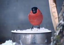 坐在与雪和唱歌的饲养者的红腹灰雀 免版税库存图片