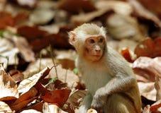 坐在中间的短尾猿干燥叶子 免版税库存图片