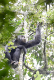 坐在乌干达的雨林的黑猩猩 免版税图库摄影