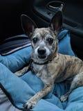 坐在乘客座位的狗 免版税库存图片