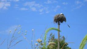 坐在他的巢的野生生物起重机在杆顶部反对天空 鹳巢,在杆的鹳巢 股票视频