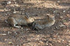 坐在公园的两只兔子通过杉木针 免版税库存照片