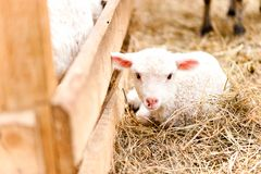坐在农业农场的小的幼小羊羔 图库摄影
