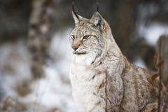 坐在冬天森林里的天猫座 免版税图库摄影