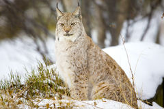 坐在冬天森林里的美丽的天猫座猫 库存照片