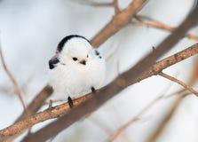 坐在冬天森林里的胖的白色鸟北美山雀 库存照片