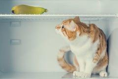 坐在冰箱和看在他上的小猫香蕉 库存照片