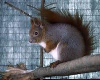 坐在分支的红松鼠 免版税库存图片