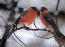 坐在分支的红腹灰雀两在12月 免版税库存图片