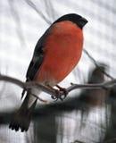 坐在分支的红腹灰雀在12月 免版税库存照片