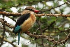 坐在刺灌木的布朗带头的翠鸟 免版税库存图片