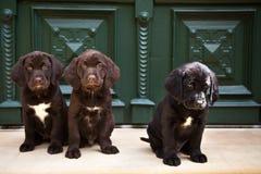 坐在前门的幼小拉布拉多猎犬小狗 免版税库存图片