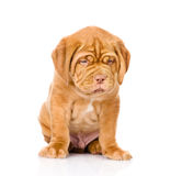 坐在前面的哀伤的红葡萄酒小狗 查出在白色 免版税库存照片