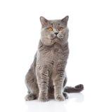坐在前面的大苏格兰猫 背景查出的白色 免版税库存图片