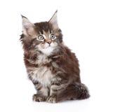 坐在前面的小缅因树狸猫 背景查出的白色 库存照片