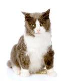 坐在前面的成人猫 背景查出的白色 库存照片