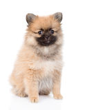 坐在前面的波美丝毛狗小狗 背景查出的白色 免版税库存图片