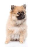 坐在前面的波美丝毛狗小狗 背景查出的白色 免版税图库摄影