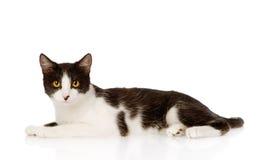 坐在前面的混杂的品种猫 背景查出的白色 图库摄影