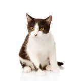 坐在前面的混杂的品种猫 背景查出的白色 免版税图库摄影