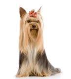 坐在前面的约克夏狗 背景查出的白色 免版税库存图片