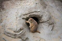 坐在前面,瑞士的Groundhog 免版税库存照片