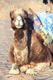 坐在北部撒哈拉大沙漠绿洲的非洲骆驼 免版税库存图片