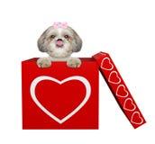 坐在华伦泰箱子的逗人喜爱的shitzu狗 查出在白色 库存照片