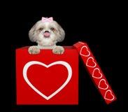 坐在华伦泰箱子的逗人喜爱的shitzu狗 查出在黑色 免版税库存图片