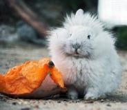 坐在南瓜附近和看照相机的白色兔子 免版税库存照片