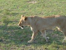坐在南非的母狮子 免版税库存图片