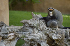 坐在叶子的小的山地大猩猩 图库摄影