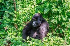 坐在叶子的山地大猩猩 库存图片