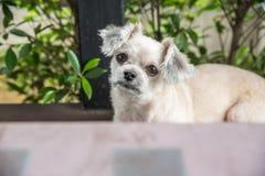 坐在咖啡馆的狗看某事 免版税库存照片