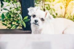 坐在咖啡馆的狗看某事 库存图片