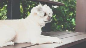 坐在咖啡馆的狗看某事 免版税图库摄影