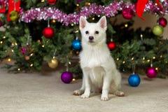 坐在圣诞树前面的愉快的小狗在期间ho 免版税库存图片