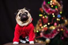 坐在圣诞老人服装的滑稽的圣诞节哈巴狗在新年树附近 库存照片