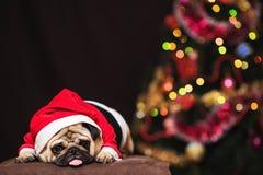 坐在圣诞老人服装的滑稽的圣诞节哈巴狗在新年树附近 免版税库存照片