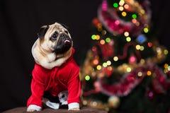 坐在圣诞老人服装的滑稽的圣诞节哈巴狗在新年树附近 库存图片