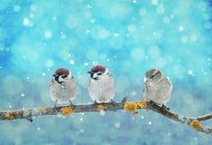 坐在圣诞节诞生的三只小的滑稽的鸟停放du 免版税库存照片